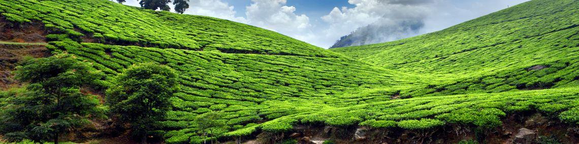 Plantations de thé Munnar