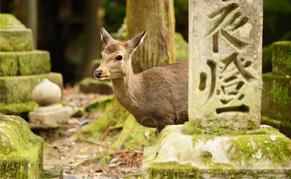 Daim du parc de Nara
