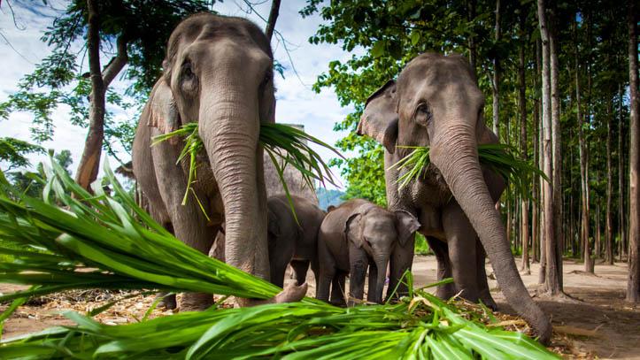 Famille d'éléphants Thai