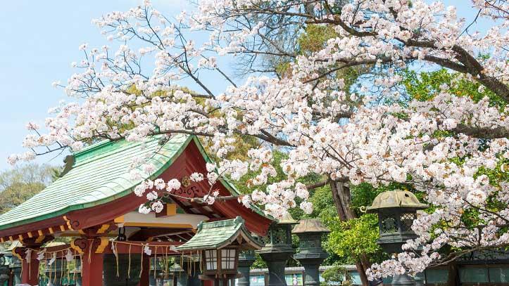 Cerisiers du parc d'Ueno à Tokyo