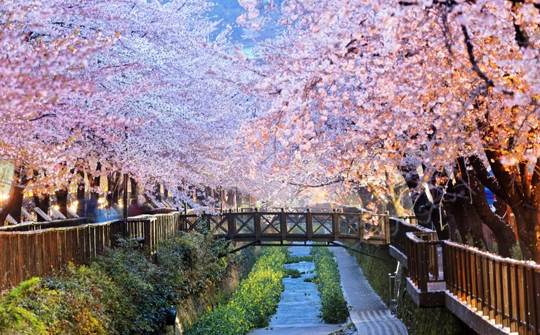 cerisiers-coree-du-sud