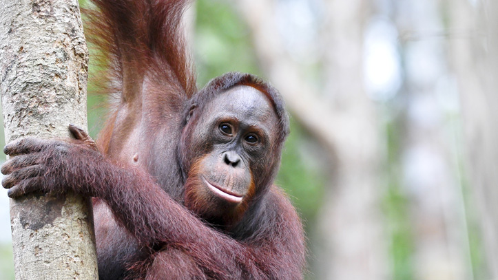 orang outan foret indonesie